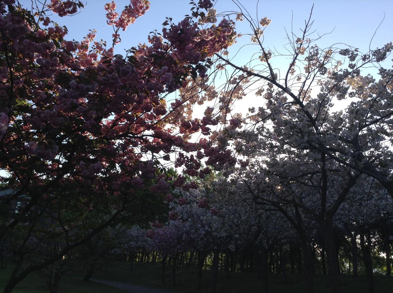 olympiad-culture-sakura.jpg